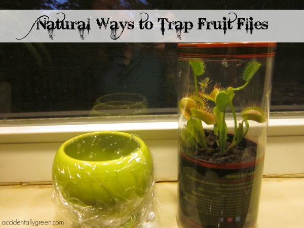 Natural Ways to Trap Fruit Flies {Accidentally Green}
