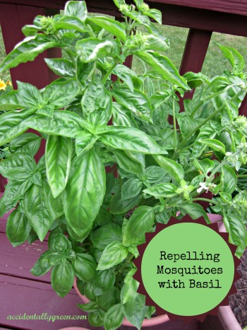 Repelling Mosquitoes with Basil {accidentallygreen.com}